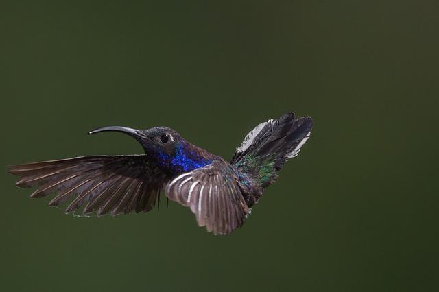 אלגוריתם החיפוש hummingbird (קוליברי)